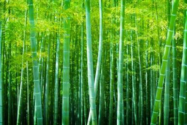 bigstock-Beautiful-bamboo-forest-Soft-63373147.jpg